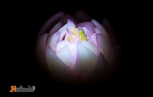 Луковая лилия