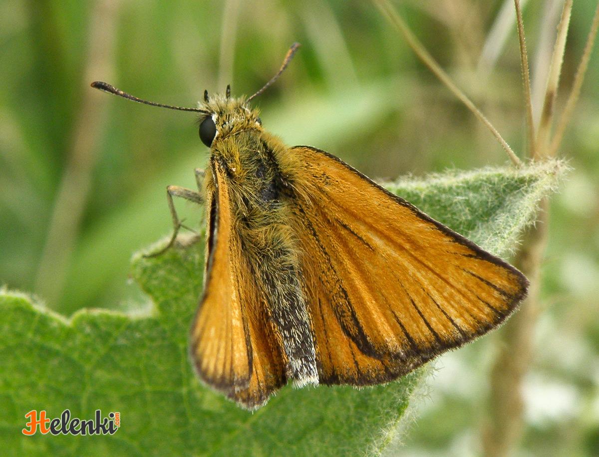 Оранжевая бабочка
